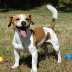 how-to-take-care-of-jack-russell
