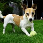 jack-russells-and-jumping