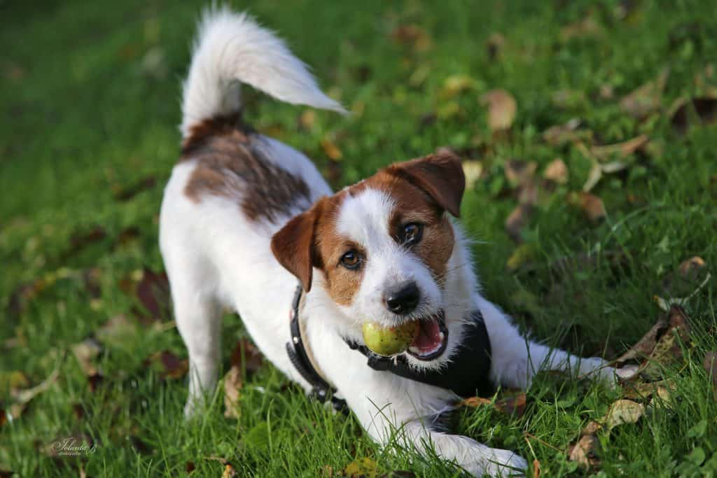 best-muzzles-jack-russell-terriers