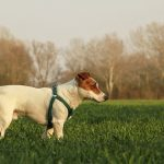 best-harness-for-jack-russell-terrier